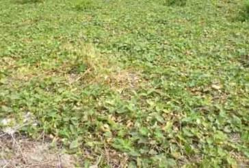 हज्जारौं बिघा परबल खेतीमा डढुवा रोगको संक्रमण